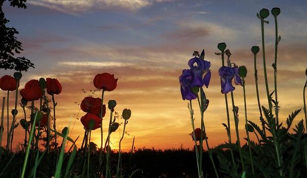 iris sunset
