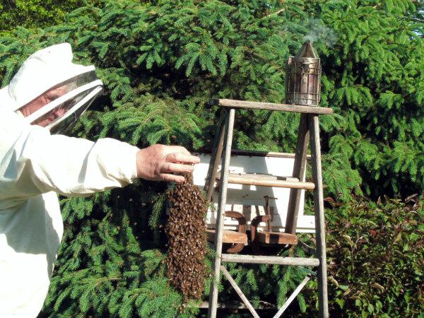 4-a branch full of bees.JPG