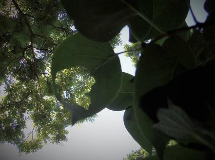 leaf hole up.JPG