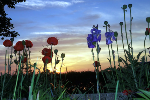 poppy iris sunset 06.jpg