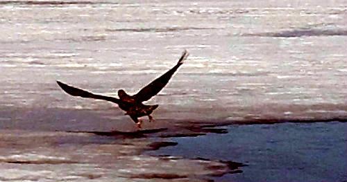 eagle take off close.jpg