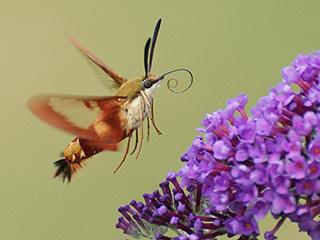hummingbird-clearwing-moth-c-susan-grimwood_large.jpg