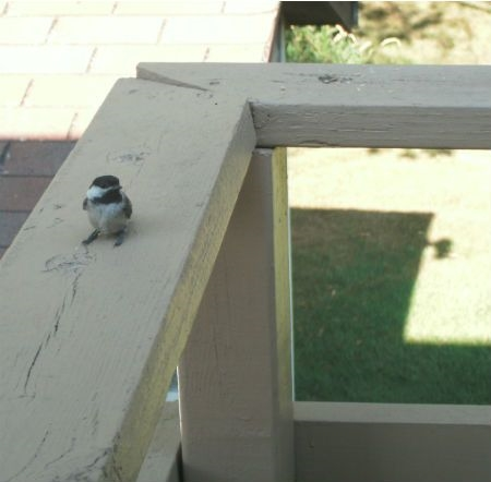 chick observing