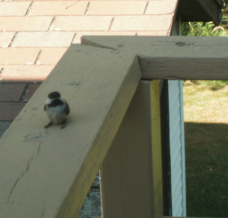 chick watching