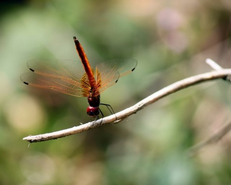 a red and orange colored dragonfly doing a handstand on a twig