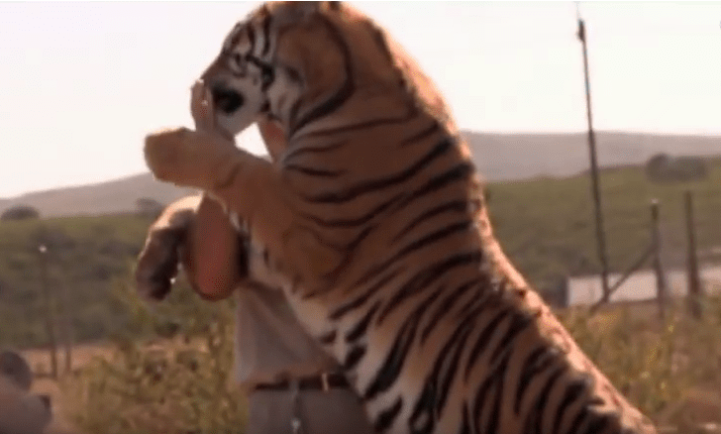 Owner of Jukani Predator Park for big cats with a full grown tiger on its hind legs, with front paws in man's arm.. Man has hand on tiger's closed mouth.