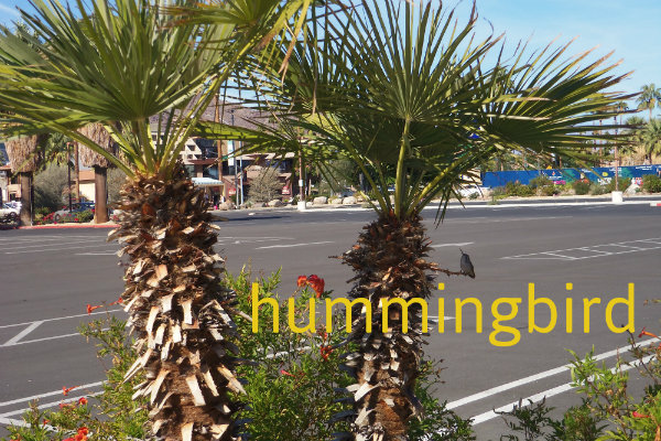 a short dwarf palm tree in a parking lot, has a hummingbird resting in its shade