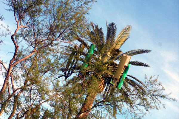 a tall fake palm tree used to hide cylinders and other devices in the foliage