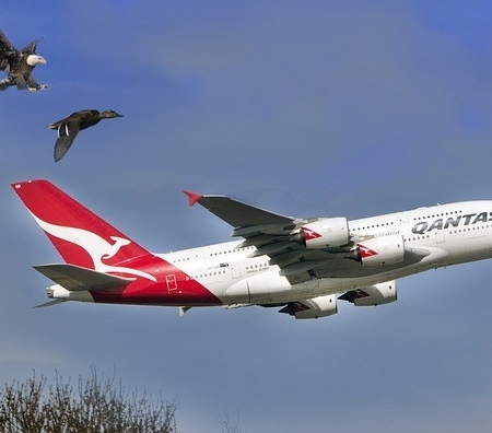 A Qantas jet, rising above the tree line with a duck above the tail of the jet and an eagle, with talons out, above and going for the duck.