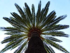 looking up the tall 'trunk' of a palm tree as it displays its feather-fronds at the top