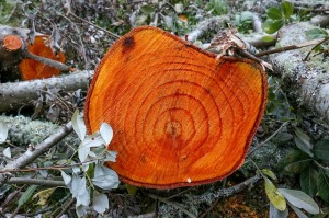 a freshly cut tree trunk, exposes its growth rings in a beautiful redwood color wood