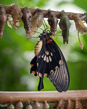 a butterfly leaving its cocoon.