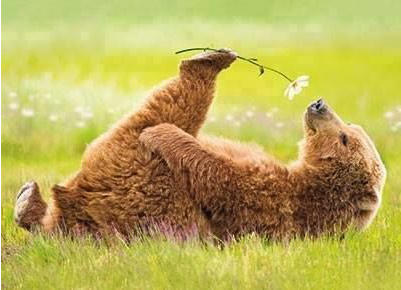 A lazy bear laying on its back, in a field, whild holding a daisy in its right hind paw, smelling the flower