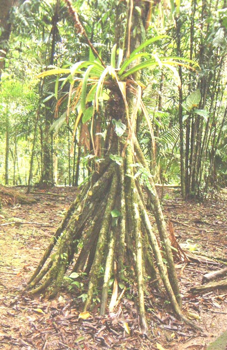 a walking palm tree of costa rica. Long roots begin about 6 feet up the trunk, reaching out and down to the ground, like multiple legs