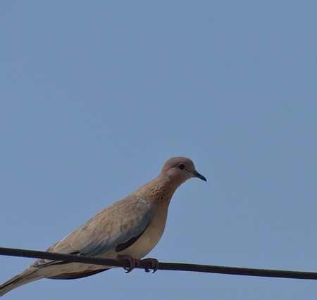 mourning dove sitting on a power line, blue sky background