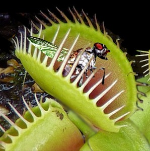close up of a venus flytrap, closing its jaws on an insect