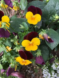 purple and yellow pansies, wher the yellow looks like butterflies