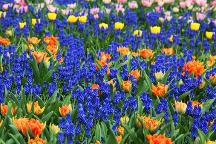 field of brigh blue, orange and yellow flowers