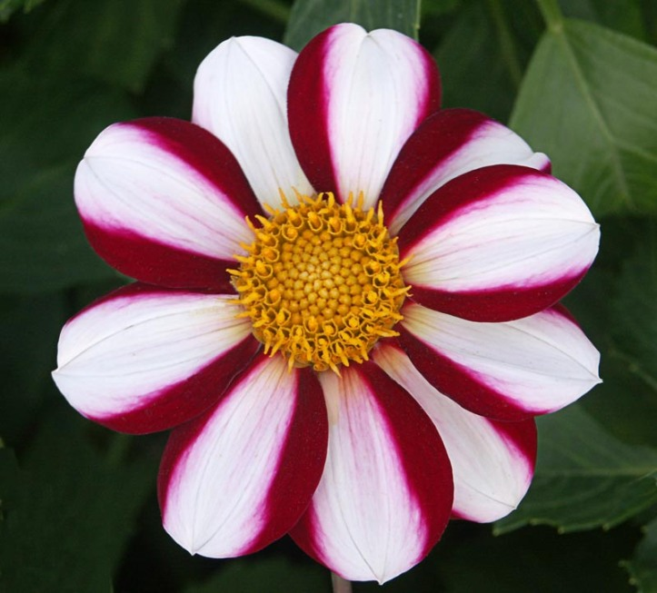 white flower with deep red edgings and a yellow center