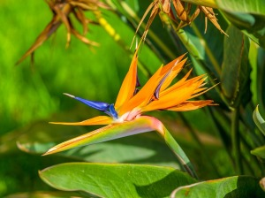 bird of paradise flower looks like a bird