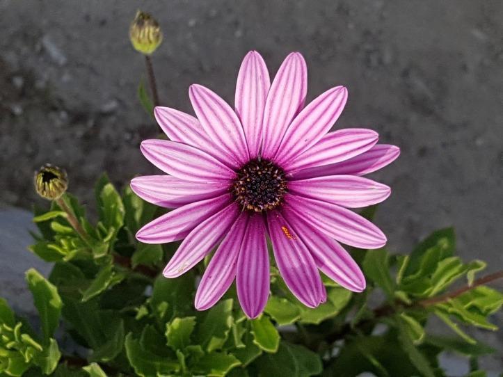 light lavendar flower petals with stripes up the length of darker lavendar
