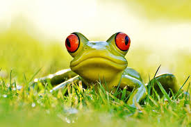 red eyed green frog in grass