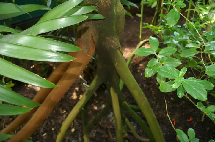 close up of the aerial roots of the walking palm tree