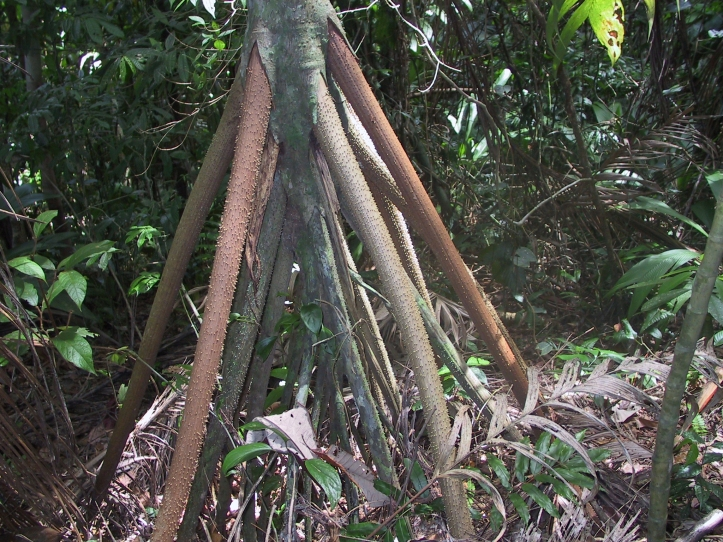 image of the aerial roots of the walking palm tree