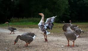 geese on the ground, one in the center is on 'tip toes' flapping wings, head proud as if dancing