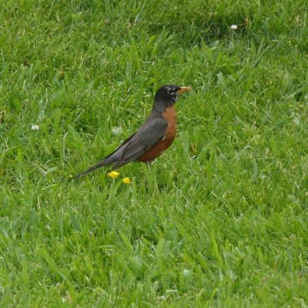 An American Robin standing in grass