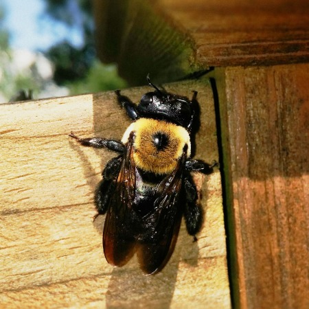 A carpenter bee on wood fence rail
